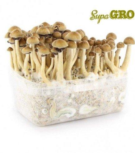 Magic Mushroom Grow Kit 'Brazil'