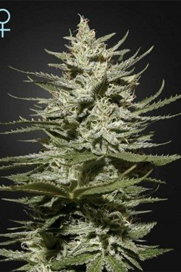 The Church CBD (Greenhouse Seeds)