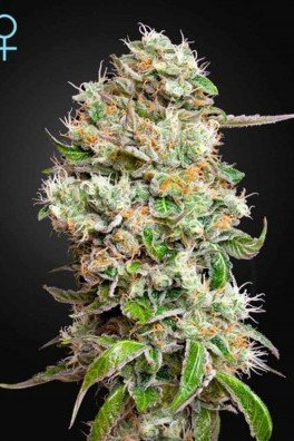 King's Kush Autofiorente CBD (Greenhouse Seeds)