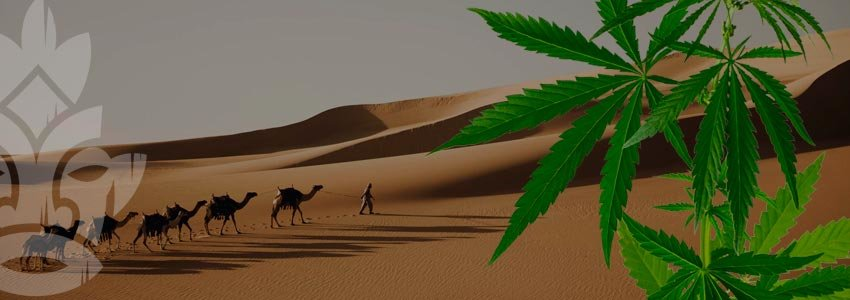 Hashish in Arabia