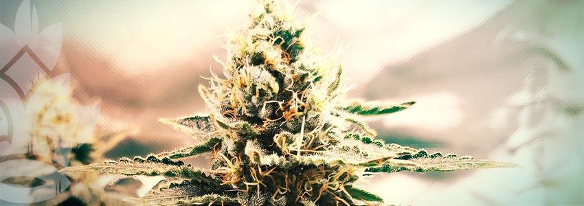 Trovate La Cannabis Terapeutica Adatta A Voi
