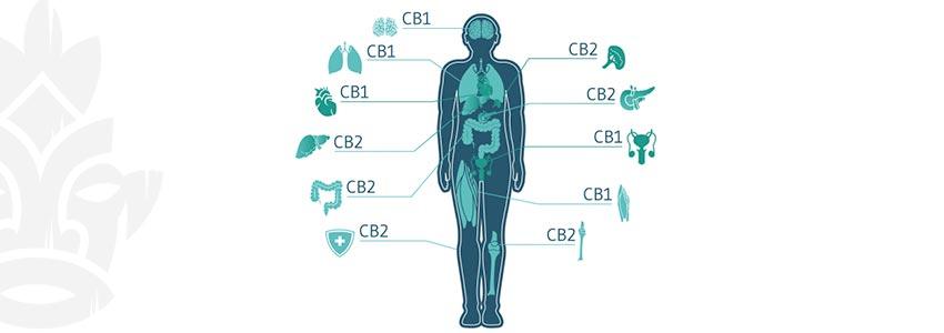 Quali Cannabinoidi Ti Fanno Sballare?