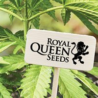 Per consultare il catalogo completo della Royal Queen Seeds