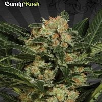 Candy Kush (Auto Seeds)