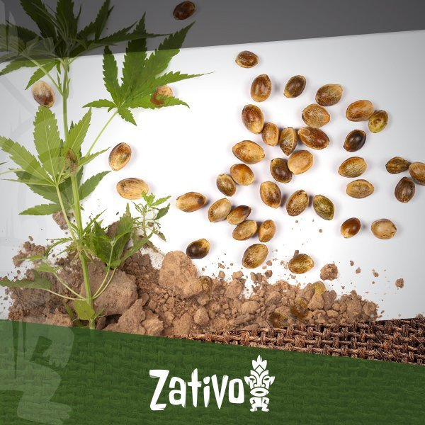 impotenza di semi di cannabis