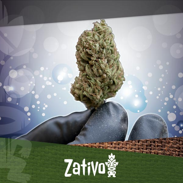 Zativo Come Essiccare E Conciare Le Proprie Cime Di Cannabis