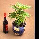 Nuovo studio: Bere alcolici prima di assumere Cannabis aumenta le concentrazioni di THC nel sangue