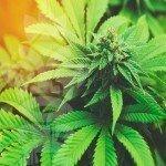 Guida per Principianti: I 10 Fondamenti della Coltivazione della Cannabis