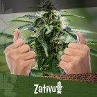 Come Capire Se Le Vostre Piante Di Cannabis Sono Sane