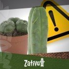 Cactus Di Mescalina - Avvertenza