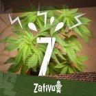 7 Cause Di Stress Per Le Piante Di Cannabis