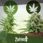 Differenze tra Cannabis Indica e Sativa