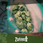 Migliora La Qualità Della Tua Marijuana Con Una Pianta Maschio