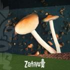 Il Microdosaggio Di Funghi E Tartufi Magici