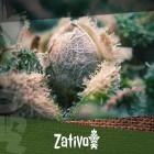 Come Distinguere Tra Semi Di Cannabis Di Alta E Bassa Qualità