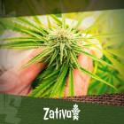 Semi Di Cannabis Vs Talee: Qual È Il Metodo Migliore?