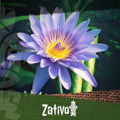 Loto Blu (Nymphaea caerulea)
