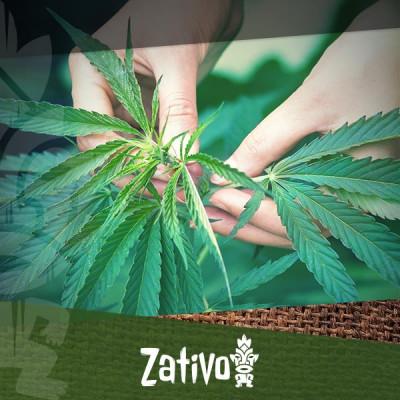 Una Guida Completa Per Coltivare Cannabis Biologica Indoor E All'aperto
