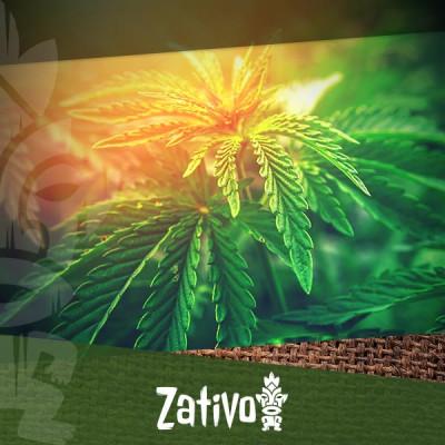 Scoprite Le 5 Migliori Varietà Di Cannabis A Basso Contenuto Di THC
